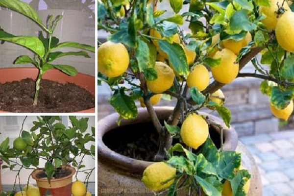 Stop Buying Lemons. Here's How To Grow An Endless Supply Of Lemons Right At Home