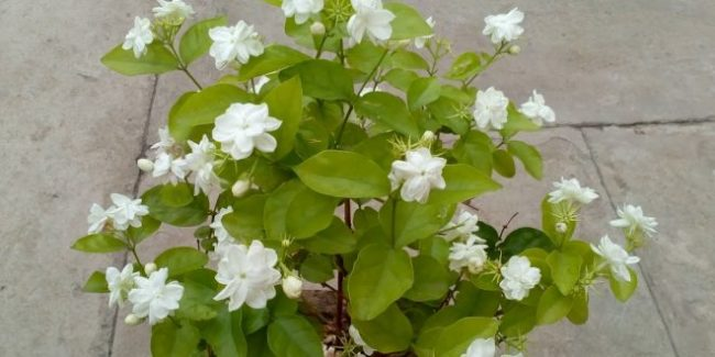 jasmin plant