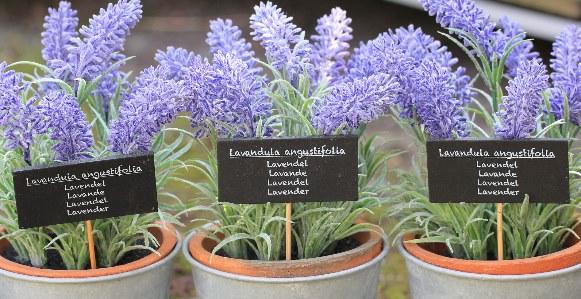 Levander plant